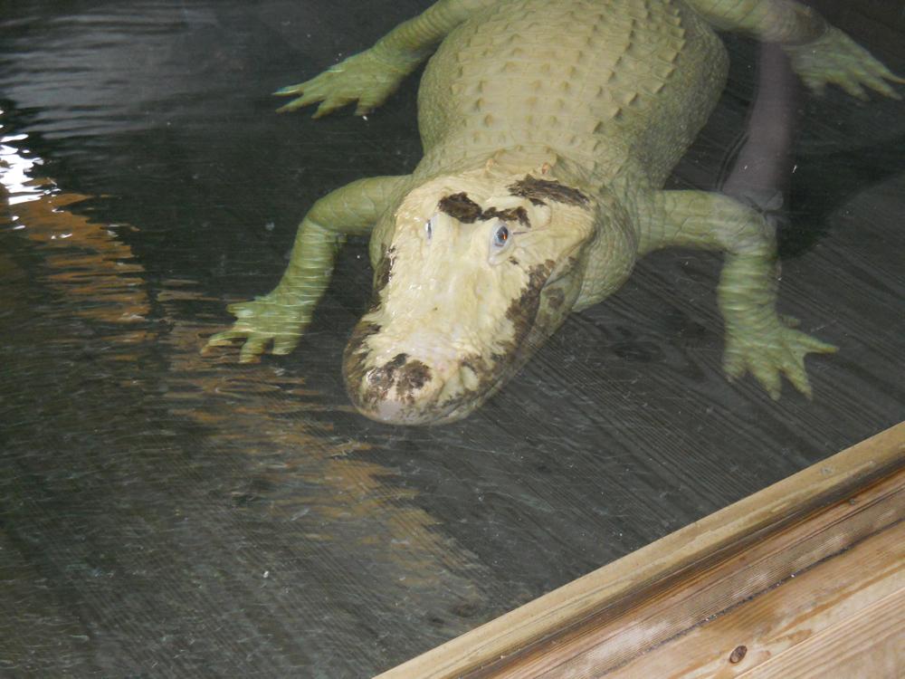 Gatorland Orlando Florida momspark.net albino alligator