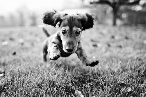 Dachshund Photography