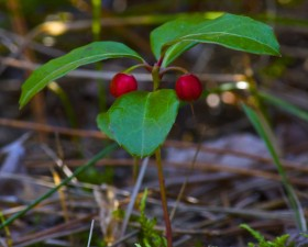 10 Ways To Try Wintergreen Essential Oil