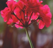 10 Ways To Use Geranium Essential Oil